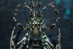 龙虾壳被取消入片断甲壳动物的海洋生物 库存图片