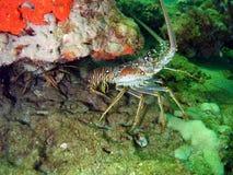龙虾季节 库存图片