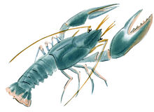 龙虾的水彩例证在白色背景中 库存图片
