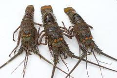 龙虾结构树 库存图片