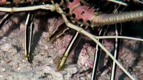 龙虾螃蟹hios水下寻找在马尔代夫的海底的食物 股票录像