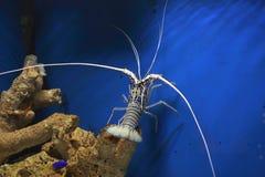龙虾被绘的岩石 免版税库存图片