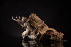 龙蜥蜴、根和鹿头骨 免版税库存照片