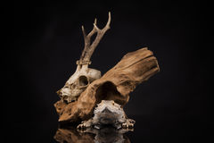 龙蜥蜴、根和鹿头骨 免版税库存图片