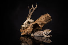龙蜥蜴、根和鹿头骨 库存图片
