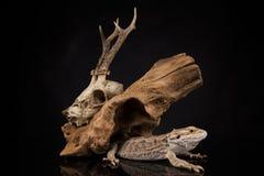 龙蜥蜴、根和鹿头骨 库存照片