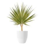 龙血树属植物与罐的棕榈树 库存照片