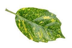 龙血树属植物叶子  免版税库存照片