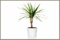 龙血树属植物在罐的Marginata花 免版税库存图片