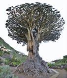 龙血树属植物天龙座龙千年结构树 库存照片