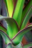 龙血树属植物天龙座龙血树 库存图片