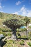龙血树属植物天龙座 库存照片