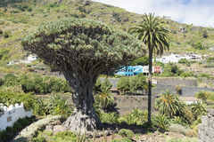 龙血树属植物天龙座 库存图片