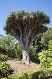 龙血树属植物天龙座 图库摄影