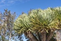 龙血树属植物天龙座Drago或龙血树在大加那利岛 库存图片