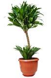 龙血树属植物室内植物 库存照片