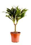 龙血树属植物 库存照片
