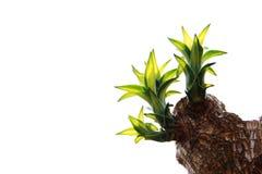 龙血树属植物Fragrans Massangeana 库存照片