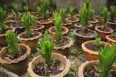 龙血树属植物loureiri Gagnep树 库存照片