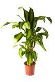 龙血树属植物massangeana 库存图片