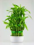 龙血树属植物pyramide 免版税库存照片