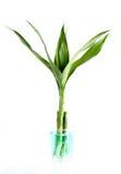 龙血树属植物sanderiana 库存图片