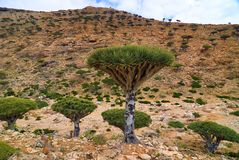 龙血树,索科特拉岛,也门 免版税图库摄影
