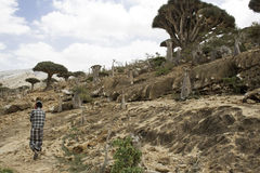 龙血树,龙血树属植物cinnabari,索科特拉岛龙血树,威胁了种类和走在沙漠, 201的2月,第12,一个人 免版税库存图片