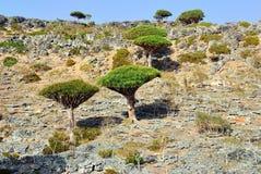 龙血树,索科特拉岛 免版税库存图片