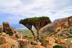 龙血树,索科特拉岛 免版税库存照片