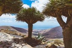 龙血树(龙血树属植物)在兰萨罗特岛,西班牙山  免版税库存图片