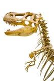 暴龙rex的骨骼的片段 免版税库存图片