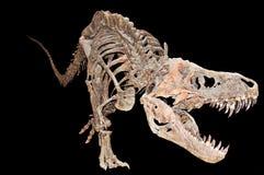 暴龙rex骨骼 免版税库存照片