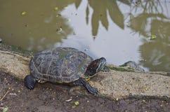 水龟在庭院里 库存图片