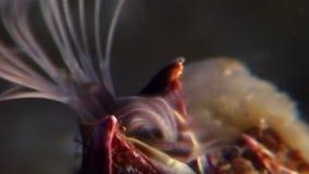 龟头balanomorpha海橡子海洋甲壳纲水下在海底 影视素材
