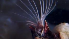 龟头balanomorpha海橡子海洋甲壳纲水下在海底 股票视频