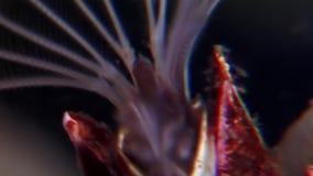 龟头balanomorpha海橡子海洋甲壳纲水下在海底 股票录像