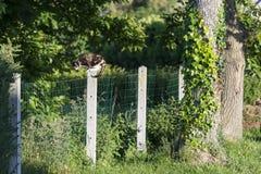 龟甲猫被栖息在两个庭院之间 免版税图库摄影
