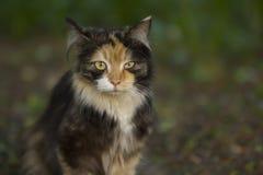 龟甲猫 免版税库存照片