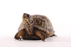 龟盒 免版税库存图片
