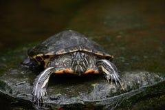 水龟 图库摄影