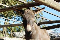 驴,克罗地亚 免版税库存图片