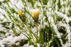 11 05 2017年,在雪的米斯克白俄罗斯蒲公英在春天 库存照片