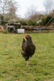 黑,棕色鸡在庭院里 免版税库存照片