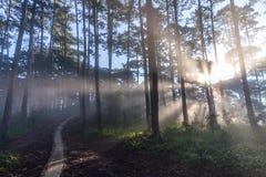 10, 2016年3月大叻-光芒在杉木森林里在大叻Lamdong,越南 库存照片