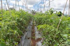 10, 2016年3月大叻-在蕃茄的blate光在大叻Lamdong,越南 库存照片