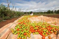 10, 2016年3月大叻-收获蕃茄的农夫在大叻Lamdong,越南 免版税库存图片