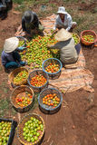 10, 2016年3月大叻-收获蕃茄的农夫在大叻Lamdong,越南 免版税图库摄影