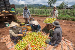 10, 2016年3月大叻-收获蕃茄的农夫在大叻Lamdong,越南 免版税库存照片