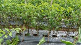 10, 2016年3月大叻- blate清淡的蕃茄在大叻Lamdong,越南 免版税库存照片